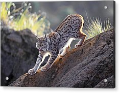 Stalking At Sunset Acrylic Print by Gianfranco Barbieri