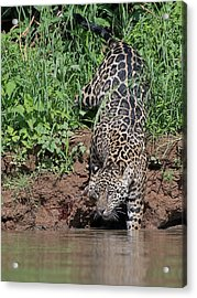 Acrylic Print featuring the photograph Stalking Jaguar by Wade Aiken