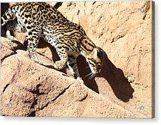 Ocelot Shadow, Arizona Acrylic Print