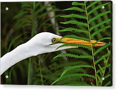 Stalking The Hopper - Egret Acrylic Print