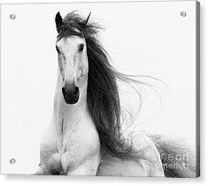 Stallion's Glory Acrylic Print