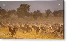 Stampede-serengeti Plain Acrylic Print