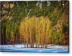 Stand Of Winter Trees Acrylic Print by Garry Gay