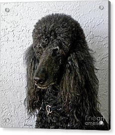 Standard Poodle Acrylic Print by Terri Mills