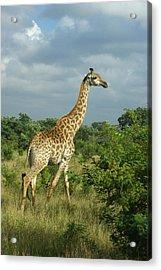 Standing Alone - Giraffe Acrylic Print