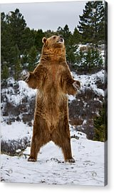 Standing Grizzly Bear Acrylic Print
