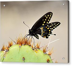 Standing On Spines - Black Swallowtail Acrylic Print