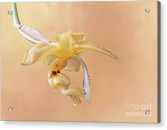 Stanhopea Orchid V2 Acrylic Print