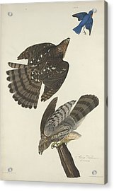 Stanley Hawk Acrylic Print by Dreyer Wildlife Print Collections