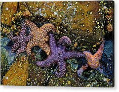 Star Family Acrylic Print by Kevin Bergen
