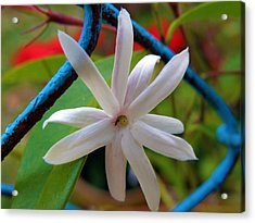 Star Jasmine Flower Acrylic Print by Rose  Hill