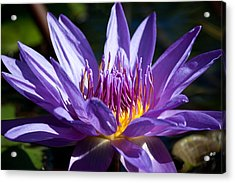 Star Lotus Soaks Up The Sun Acrylic Print by J Mattson