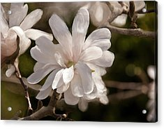 Star Magnolia Painting Acrylic Print by Don  Wright