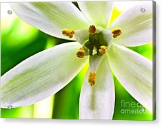 Star Of Bethlehem Grass Lily Acrylic Print by Ryan Kelly