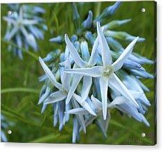 Star-spangled Flowers Acrylic Print