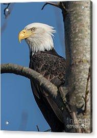 Staredown By Eagle  Acrylic Print