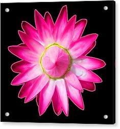 Starflower Opening  Mandala Acrylic Print