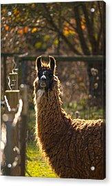 Staring Llama Acrylic Print