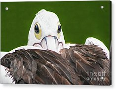 Staring Pelican Acrylic Print