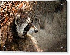 Staring Raccooon Acrylic Print