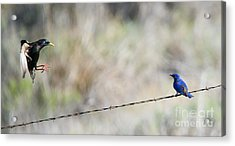 Starling Attack Acrylic Print by Mike Dawson