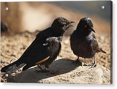 Starling Discussion. Acrylic Print