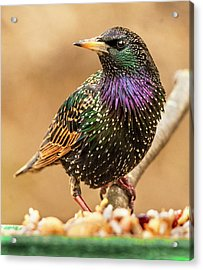 Starling In Glorious Color Acrylic Print