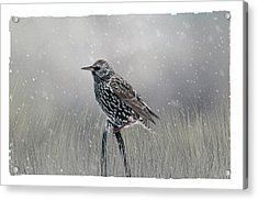 Starling In Winter Acrylic Print