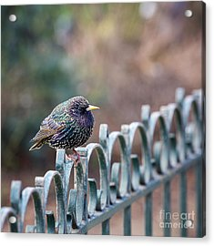 Starling Juvenile Male Acrylic Print