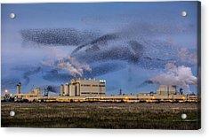 Starling Mumuration Acrylic Print