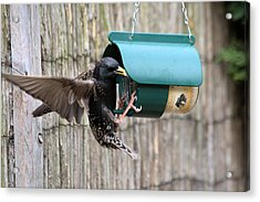 Starling On Bird Feeder Acrylic Print by Gordon Auld