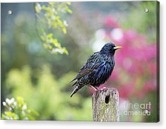 Starling  Acrylic Print by Tim Gainey