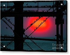 Starlings Against The Setting Sun Acrylic Print