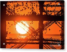 Starlings At Sunset Under Aberystwyth Pier Acrylic Print