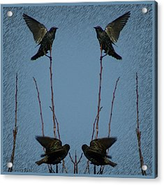 Starlings Acrylic Print