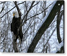 Starved Rock Eagle Acrylic Print by Paula Guttilla