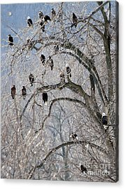 Starved Rock Eagles Acrylic Print by Paula Guttilla