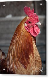 State Fair Rooster Acrylic Print by Carol Groenen