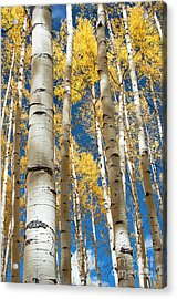 Acrylic Print featuring the photograph Stately Aspens by The Forests Edge Photography - Diane Sandoval