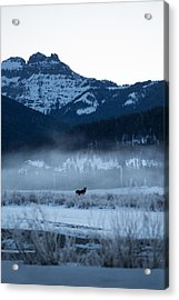Statuesque Moose // Round Prairie, Yellowstone National Park Acrylic Print by Nicholas Parker