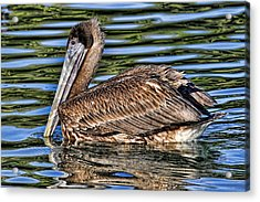 Staying Afloat 2 - Brown Pelican Swimming Acrylic Print by HH Photography of Florida
