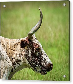 Acrylic Print featuring the photograph Steer Portrait by Paul Freidlund