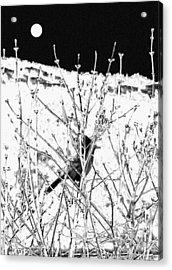 Stellar Jay   Acrylic Print by Will Borden