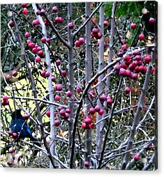 Stellar Jay In Crab Apples Acrylic Print by Will Borden