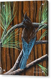 Stellar Jay Acrylic Print by Jennifer Lake