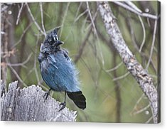 Acrylic Print featuring the photograph Stellar's Jay by Gary Lengyel