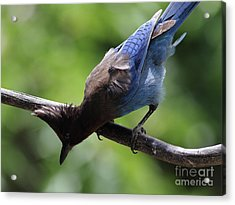 Stellers Jay . 7d6360 Acrylic Print by Wingsdomain Art and Photography