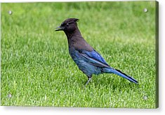 Steller's Jay On The Lawn Acrylic Print
