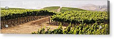 Step Into My Vineyard Acrylic Print by Marilyn Hunt