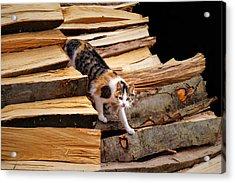 Stepping Down - Calico Cat On Beech Woodpile Acrylic Print by Menega Sabidussi